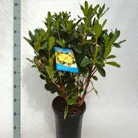 Rododendro 'Horizon Monarch' Contenitore 60-70 cm Qualità extra