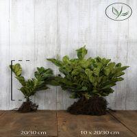Lauroceraso 'Rotundifolia' Radice nuda 20-30 cm