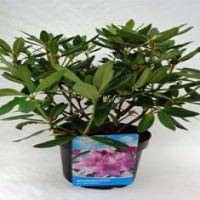 Rododendro 'Catawbiense Grandiflorum' Contenitore 40-50 cm Qualità extra