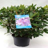 Rododendro 'Catawbiense Grandiflorum' Contenitore 60-70 cm Qualità extra