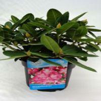 Rododendro 'Germania' Contenitore 40-50 cm Qualità extra