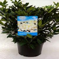 Rododendro 'Madame Masson' Contenitore 60-70 cm Qualità extra