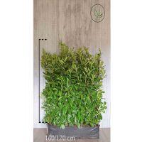 Lauroceraso 'Rotundifolia' Siepe pronta 160-170 cm Siepe-pronta