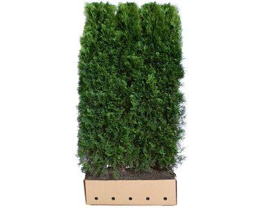 Tuia 'Smaragd' Siepe pronta 180-200 cm Siepe-pronta