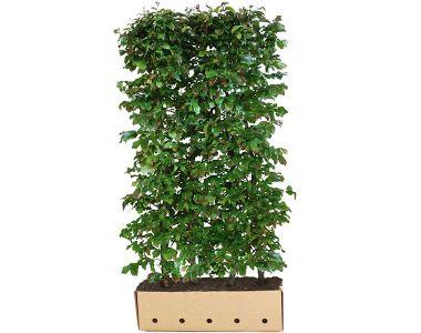 Parrotia persica (Parrotia persica 'Vanessa')  Siepe pronta 200 cm Qualità extra