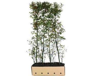 Amelanchier lamarckii siepe pronta 200 cm