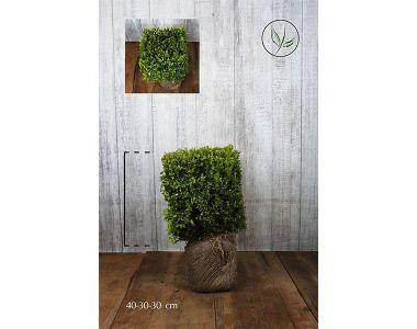 Bosso - Cubi Siepe pronta 30h x 30 x 30 cm Siepe-pronta