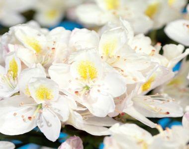 Rododendro 'Madame Masson'