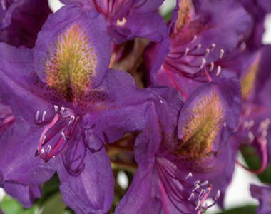 Rododendro 'Marcel Menard'