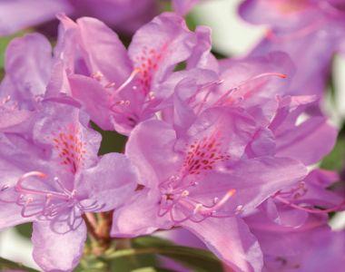Rododendro 'Roseum Elegans'