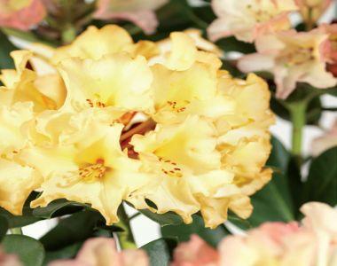 Rododendro 'Horizon Monarch'