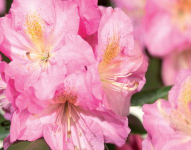 Rododendro 'Scintillation'