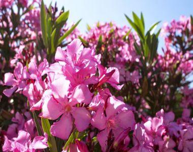 Oleandro 'Pink'