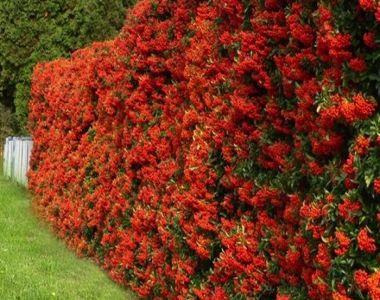 Piracanta 'Red Column'