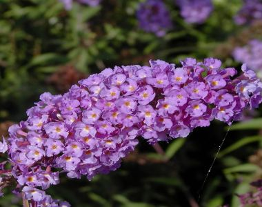 Albero delle Farfalle 'Nanho Blue'