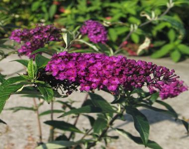 Albero delle Farfalle 'Royal Red'