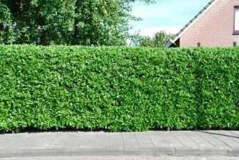 Lauroceraso 'Rotundifolia'