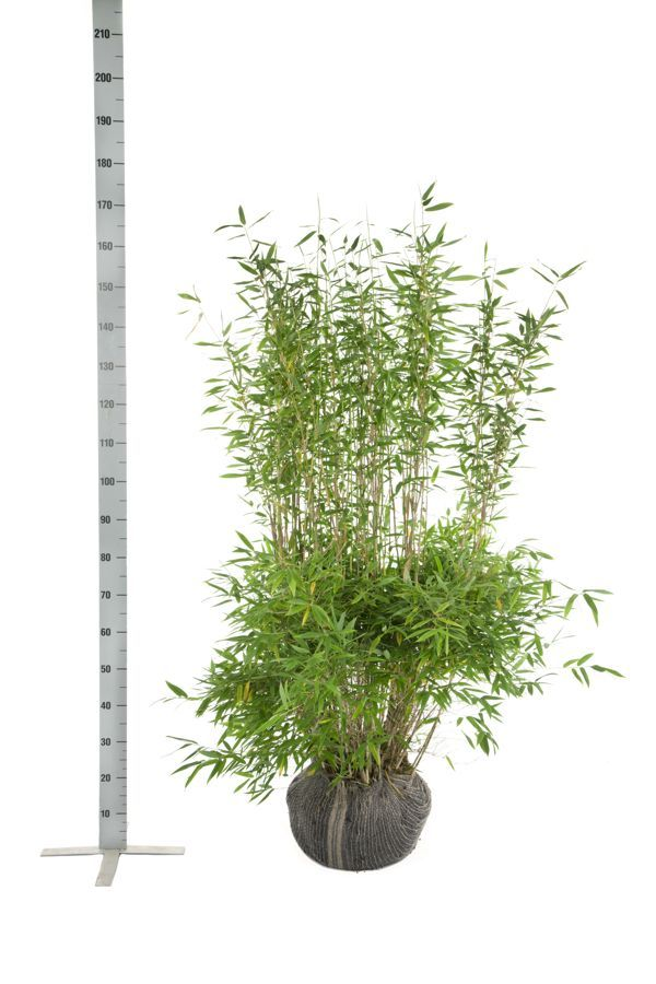 Fargesia murieliae 'Jumbo' Zolla 125-150 cm
