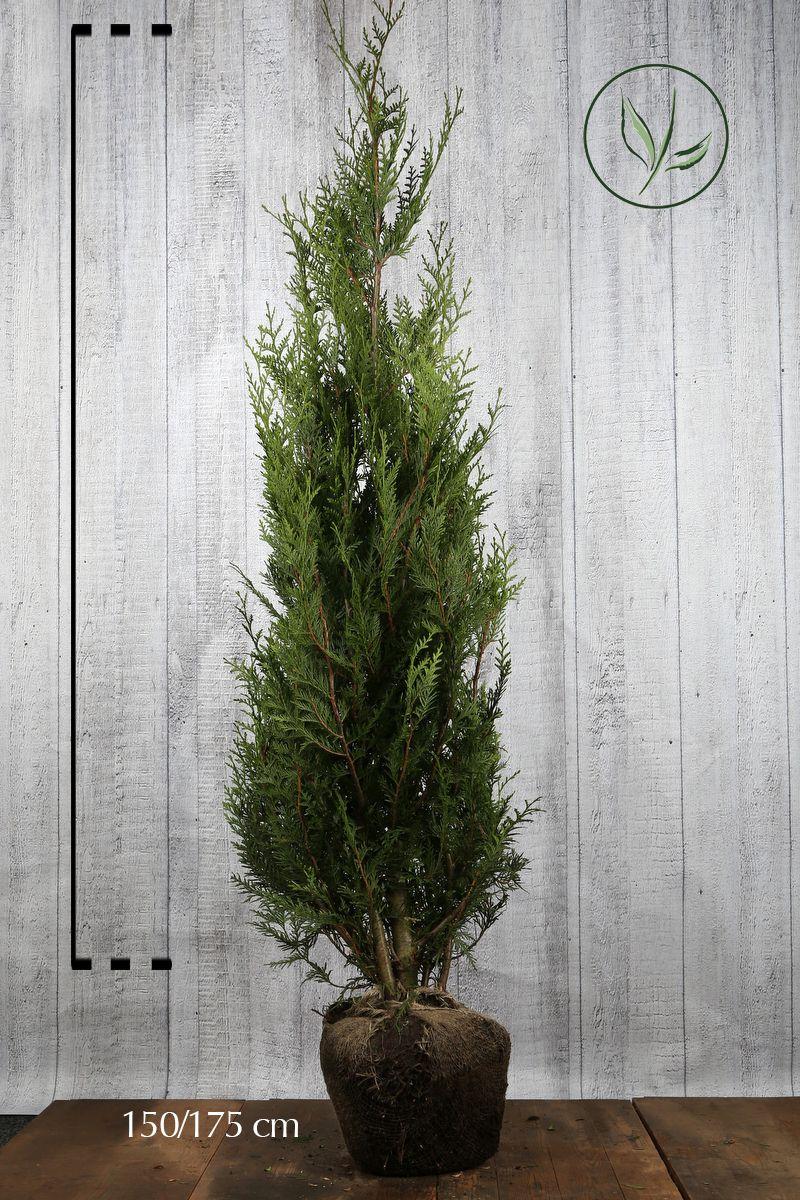 Tuia 'Atrovirens' Zolla 150-175 cm