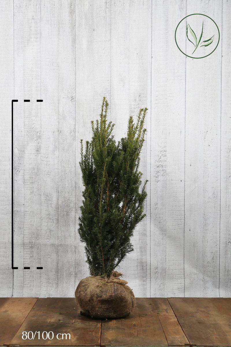 Tasso 'Hillii' Zolla 80-100 cm