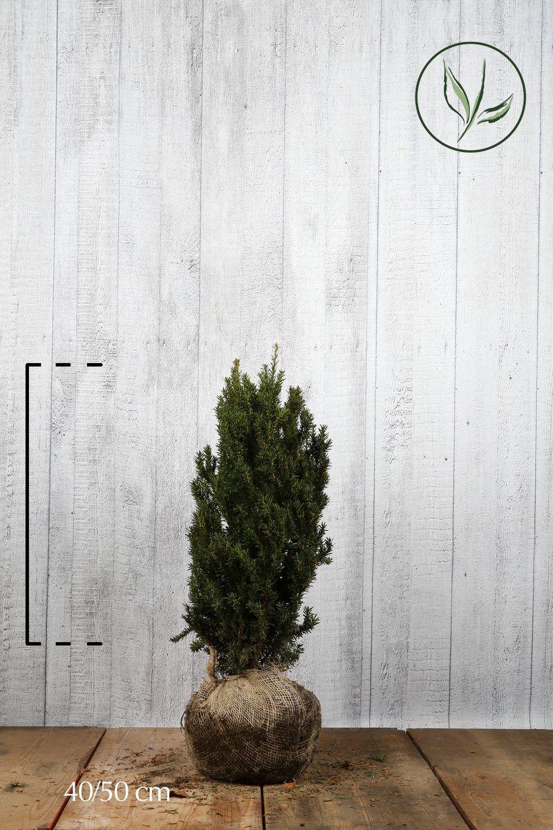 Tasso 'Hillii' Zolla 40-50 cm