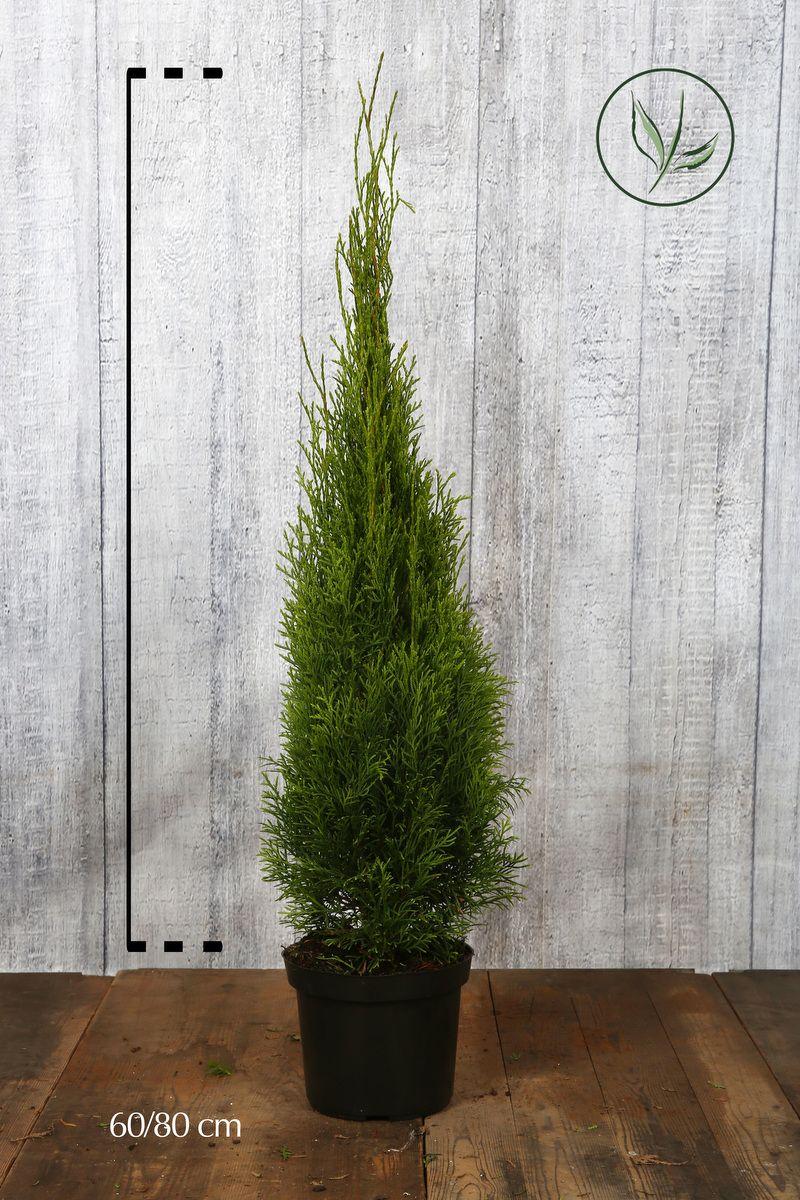 Tuia 'Smaragd' Contenitore 60-80 cm Qualità extra