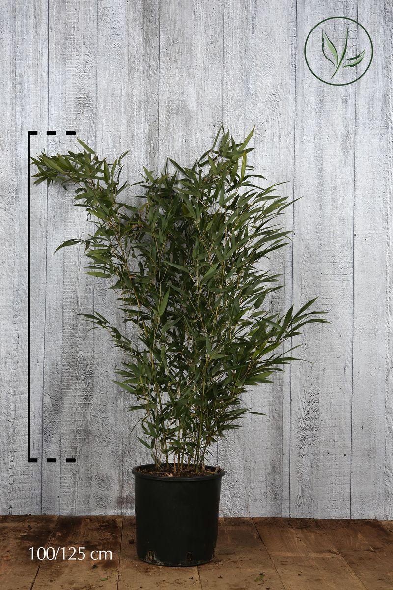 Bambu' dorato Spectabilis Contenitore 100-125 cm