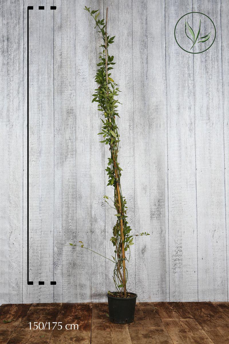Gelsomino primulino Contenitore 150-175 cm