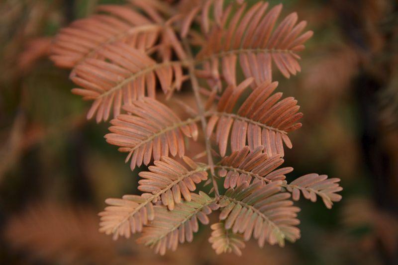 Metasequoia Siepe pronta 200 cm Siepe-pronta