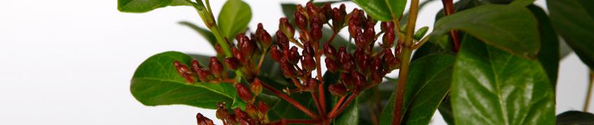 Comprare il viburnum online su Piantedasiepe.it