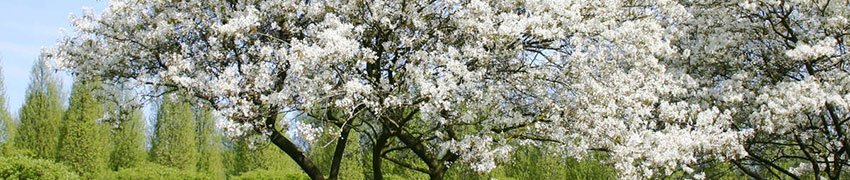 Ordinare un Amelanchier