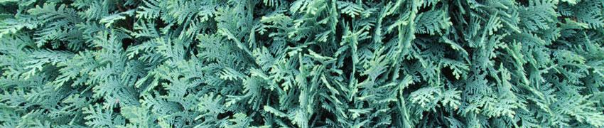 Le Conifere come piante da siepe