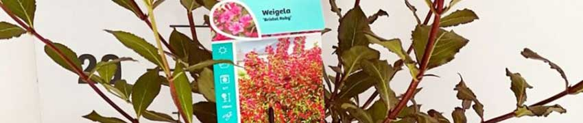Ordinare la Weigelia