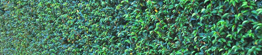 Il nostro Prunus laurocerasus (Lauroceraso)