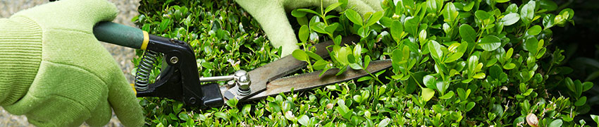 Come si pianta una siepe?