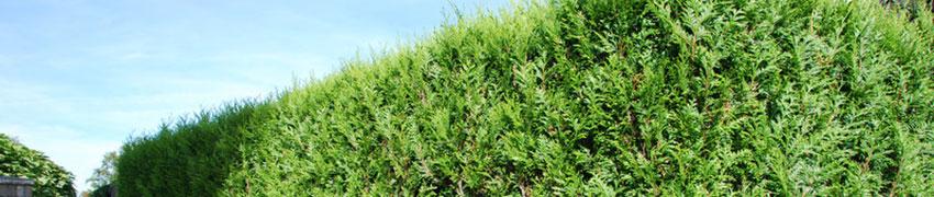 Comprare conifere tuia