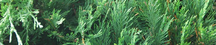 Conifere Tuia