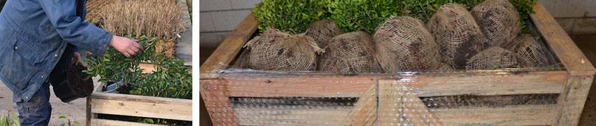 Levatura delle piante con zolla