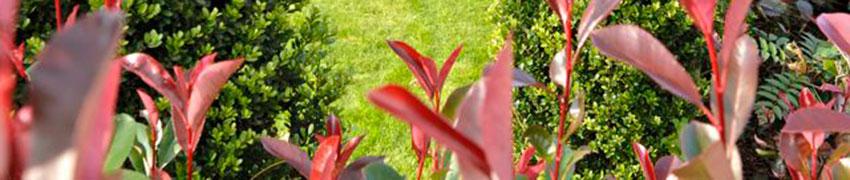 Comprare piante da siepe sempreverdi online